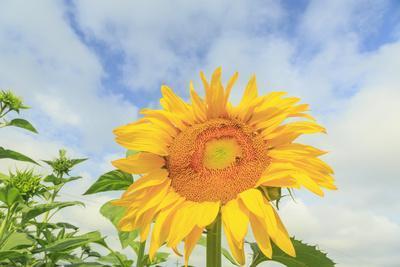 Sunflowers, Community Garden, Moses Lake, Wa, USA
