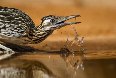 Starr County, Texas. Greater Roadrunner Drinking at Pond