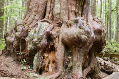 Canada, B.C, Port Renfrew, Avatar Grove, Ancient Red Cedar Tree