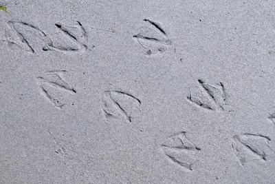 Canada, B.C, Sidney Island. Gull Footprints, Gulf Islands National Park Reserve
