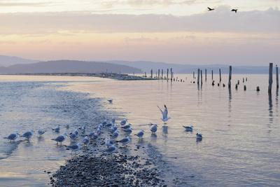 Canada, B.C, Sidney Island. Gulls at Sunset, Gulf Islands National Park Reserve