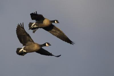 Lesser Canada Geese Alighting