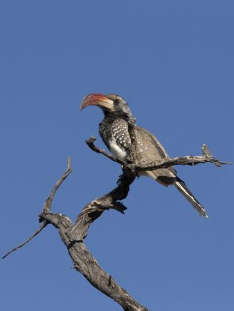 Monteiros Hornbill, Tockus Monteiri, Central Namibia