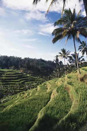 Indonesia, Bali, View of Field