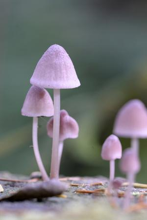 Canada, B.C, Vancouver. Pink Mycena Mushrooms Growing on a Dead Tree