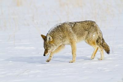 Wyoming, Yellowstone National Park, Coyote Hunting on Snowpack