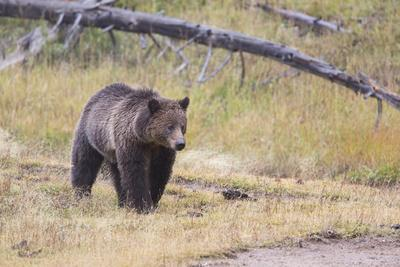 Wyoming, Yellowstone National Park, Grizzly Bear