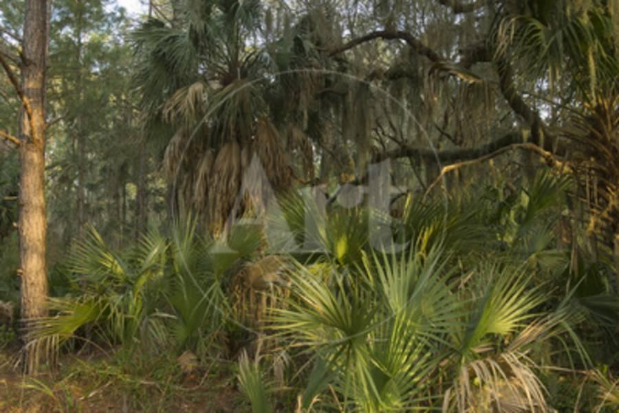 Coastal Oak Forest With Spanish Moss Little St Simons Island