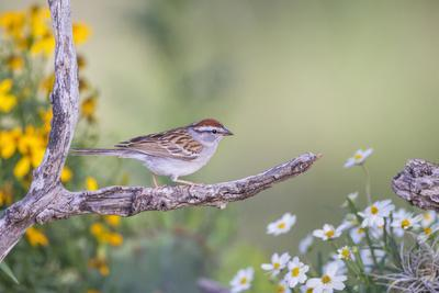 Kendall County, Texas. Chipping Sparrow Searching for Food