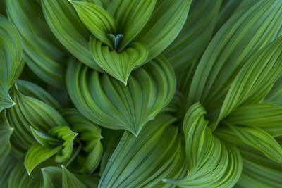 Corn Lily Aka False Hellebore in Glacier National Park, Montana, USA