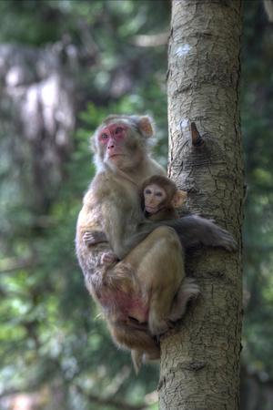 Mother Rhesus Macaque and Baby Wulingyuan District, China