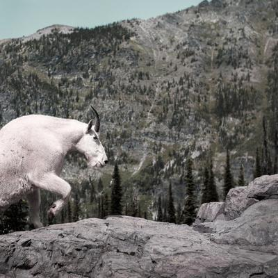 Mountain Goat Climbing Rocks in Glacier National Park, Montana