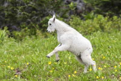 Mountain Goat Kid Kicks Up His Heels in Glacier National Park, Montana, USA