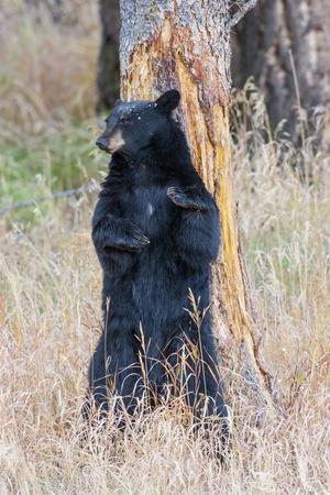 USA, Wyoming, Yellowstone National Park, Black Bear Scratching on Lodge Pole Pine