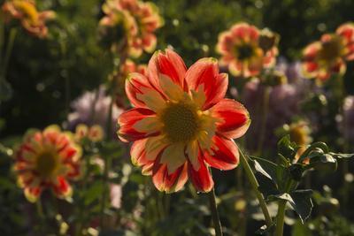 Dahlias, Dahlia Farm, Canby, Oregon, USA