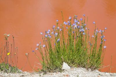 Wyoming, Yellowstone National Park, Harebell Flowers at Tomato Soup Hot Spring
