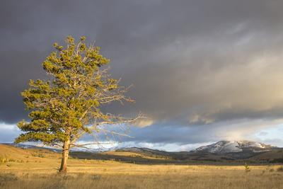 Wyoming, Yellowstone National Park, Lodgepole Pine on the Swan Lake Flats