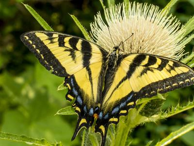 Western Tiger Swallowtail on a Thistle, Great Bear Wilderness, Montana