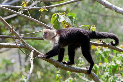 White Headed Capuchin, Cebus Capucinus, Costa Rica