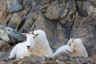 Wa, Alpine Lakes Wilderness, Ingalls Lake Area, Nanny Goat and Kid