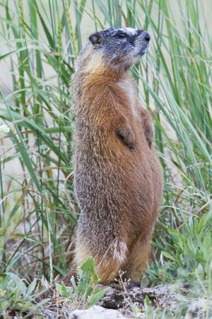 Wyoming, Yellowstone National Park, Yellow Bellied Marmot Standing on Hind Legs