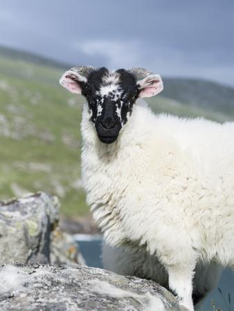 Young Cheviot Ram on the Isle of Harris, Scotland