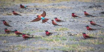Flock of Carmine Bee Eater Birds on Ground Nesting, Botswana, Africa