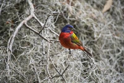 Painted Bunting, Little St Simons Island, Barrier Islands, Georgia