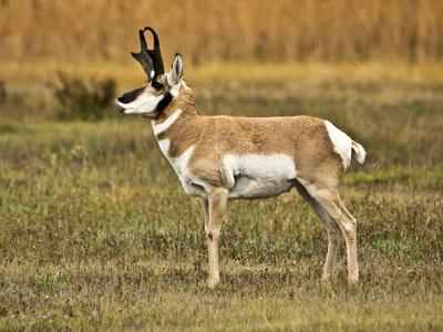 Pronghorn, Antelope Flats, Grand Teton National Park, Wyoming, USA