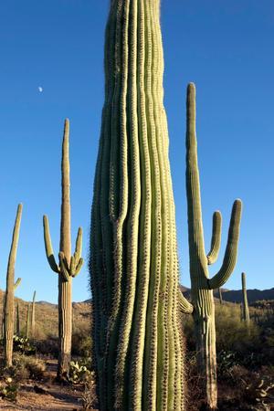 Giant Saguaro Cactus, Saguaro West National Park, Tucson, Arizona