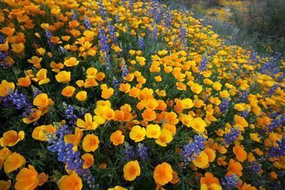 Poppies and Lupine, Bloom in the Sonoran Desert, Tucson, Arizona