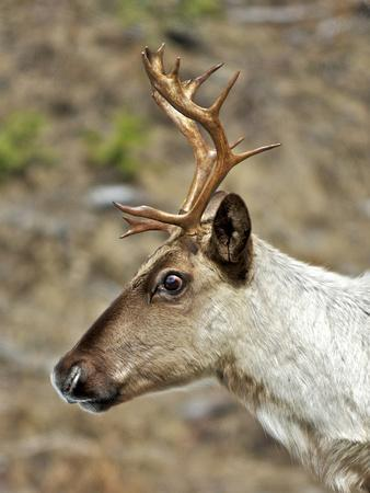 Mountain Caribou Migrating in Early Spring in the Cariboo Mts of B.C