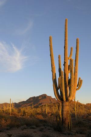 Arizona, Organ Pipe Cactus Nm. Saguaro Cactus in Front of Mt Ajo Range