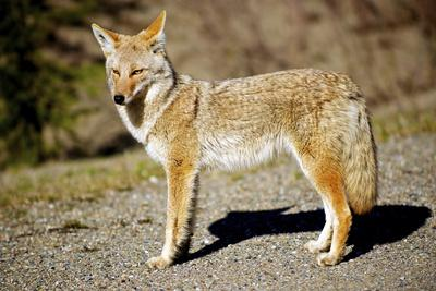 A Coyote, Searches for Prey in the Cariboo Mts of B.C., Canada