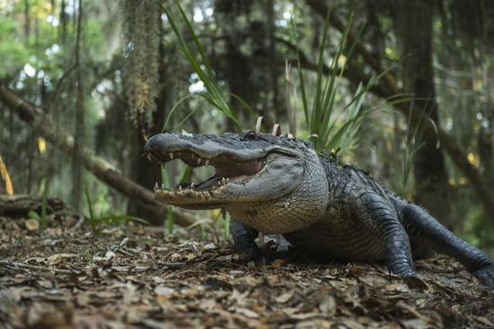 American Alligator In Forest Little St Simons Island Georgia