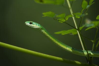 Rough Green Snake, Opheodrys Aestivus, Captive, Northern. Georgia, USA