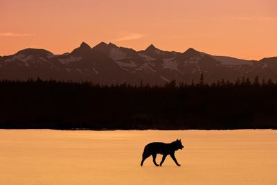 Silhouette of a Wolf Walking at Sunset, Tongass National Forest, Southeast, Alaska
