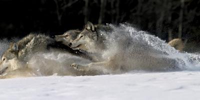 Pack of Grey Wolves Running Through Deep Snow Captive Ak Se Winter