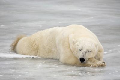 Polar Bear Asleep on Sea Ice at Churchill, Manitoba, Canada