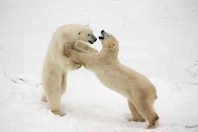 Polar Bears Play Fighting at Churchill, Manitoba, Canada