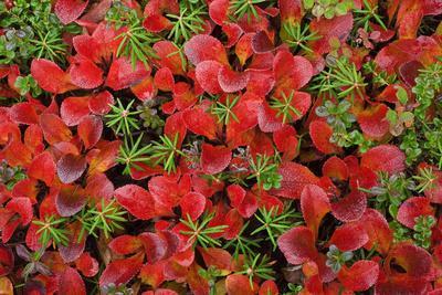 Close-Up of Tundra Plants in Fall Colors at Denali National Park, Alaska