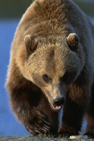 Portrait of Grizzly Walking Forward Sc Ak Captive Summer Big Game Alaska