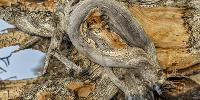 Close Up Detail of a Twisted Bristlecone Pine Tree. the Trees Can Live Up to 5,000 Years