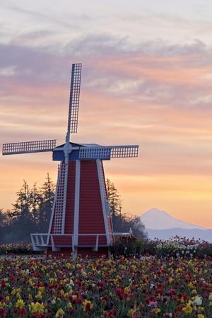 Sunrise over Wooden Shoe Tulip Farm and Mt. Hood; Woodburn, Oregon, USA