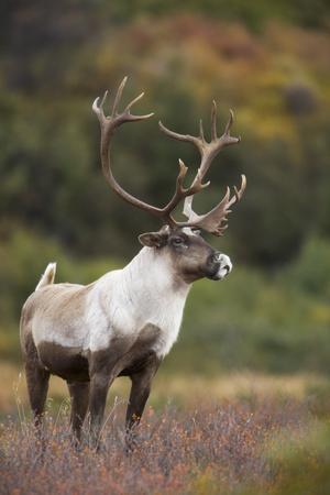 Bull Caribou on Autumn Tundra in Denali National Park, Interior Alaska