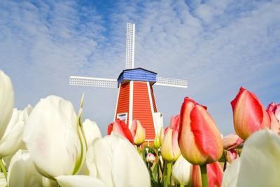 Windmill and Tulips at Wooden Shoe Tulip Farm; Woodburn, Oregon, USA