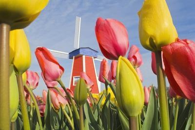 Windmill and Tulips at Wooden Shoe Tulip Farm; Woodburn, Oregon, USA