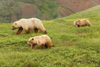 Grizzly Bear Sow and Two Cubs on Tundra