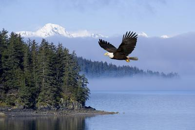 Bald Eagle in Flight over the Inside Passage with Tongass National Forest in the Background, Alaska