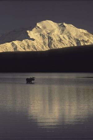 Moose Standing in Wonder Lake Mount Mckinley Summer Interior Alaska